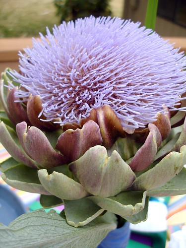 It's an artichoke flower!