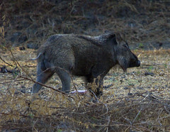 Wild Boar in Keoladeo Sanctuary (aeschylus18917) Tags: park trees india nature grass animal pig nikon wildlife d200 boar sus rajasthan bharatpur 80400mm wildboar 80400mmf4556dvr keoladeo artiodactyla susscrofa suidae 80400mmf4556vr  susscrofacristatus keoladeosanctuary danielruyle aeschyl