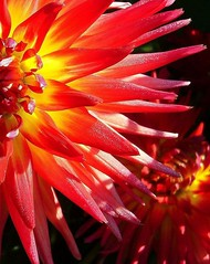 Dahlia ~ Nature's Firework's ~ (TLPhotography66 ~) Tags: dahlia flowers flower nature fireworks dahlias