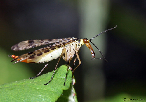 Scorpion Fly - Panorpa communis