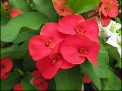 Euphorbia milii (Crown of Thorns) in our garden