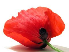 poppy (✿ Graça Vargas ✿) Tags: red flower poppy whiteground papoula papaverorientale graçavargas duetos ©2008graçavargasallrightsreserved 36523110610