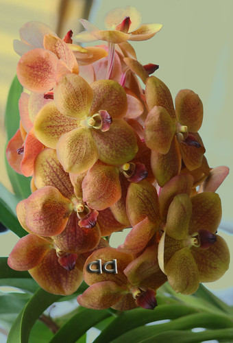 2814167844_963455abe2 - Orchids for Orchids - Tribute to Orchids (Aya)