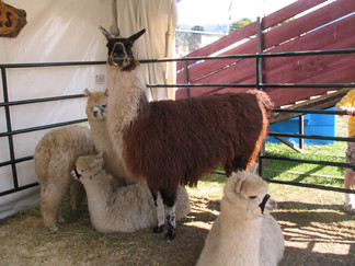 5_alpacas