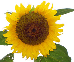 Survivor - sunflower (mo_delmar) Tags: flora sunflower excellentsflowers