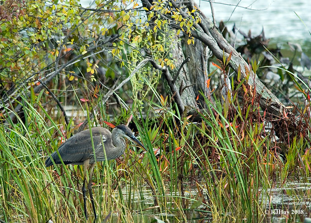 Great Blue Heron in the Reeds
