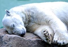 Polar bear (floridapfe) Tags: winter sleeping white animal zoo nikon nap polarbear everland  arcticbear