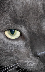my russian blue (D3 Photography) Tags: eye cat grey nikon cropped pussycat russianblue d300 18135mm