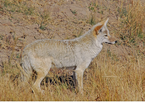 Hayden Valley Coyote - 0346b