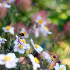 Bzzzzzzzzzzzy Bee Bokeh (Maureen F.) Tags: flowers flora bokeh bee firstquality hbw buzzzzzzzzzzz platinumheartawards happybokehwednesday definitelyoneofyourbestthebokehisoutstanding