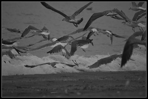 gaviotas blanco negro