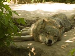 Kyiv zoo. Wolf
