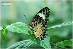 butterfly-maylasian lacewing (garanger1403) Tags: butterfly georgia callawaygardens malaysianlacewing