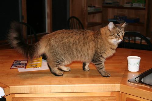 Loaner cat