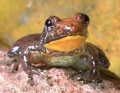 Phrynobatrachus kreffti, Male, gular, Amani NR, Jan 2001 (Vonesh-Balcomb) Tags: animal tanzania amphibian frog frogs vertebrate herpetology usambara amphibia anuran amaninaturereserve anurans