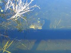 CIMG6526 (J_Dub) Tags: park wedding florida gator alligator national everglades haley bentley natio