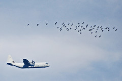 volatili - flying things (Branzino Curiosso) Tags: blue sky birds airplane aereo
