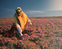 A poster depicting the harvest of Saffron (**El-Len**) Tags: travel flower poster cuisine iran harvest persia crocus explore spices saffron mashad traditionalclothing fav10 fav25 crocussativus