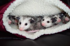 Baby opossums, by Mary Cummins (Mary Cummins) Tags: california wild possum rescue baby fish game animal losangeles opossum babies wildlife ill department permitted injured broker rehabilitation appraisal licensed appraiser fishgame orphaned wildliferehabilitation fishandgame wildliferehabber californiadepartmentoffishandgame animaladvocates marycummins marycumminscobb marycobb wildliferehabilitator wwwanimaladvocatesus californiadepartmentoffishgame animaladvocatesus marycumminscom marykcummins cumminsrealestateservices