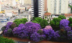 São Paulo com Quaresmeiras-roxas (Tibouchina granulosa) april 2008 by TUFFI MATTAR (mauroguanandi) Tags: trees brazil tree purple violet floweringtrees tibouchina tibouchinagranulosa platinunphotography flowersarefabulous mimamorflores melatosmataceae