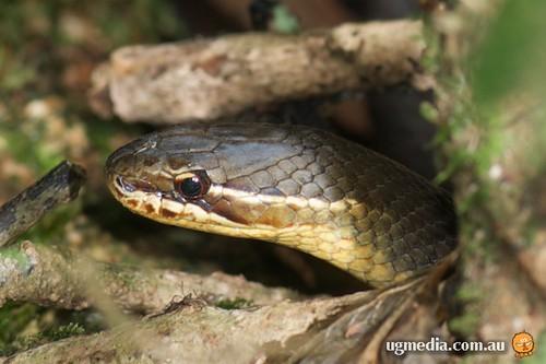 Marsh snake (Hemiaspis signata)