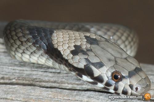 Pale-headed snake (Hoplocephalus bitorquatus)