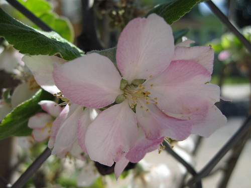 fleur de pommier.