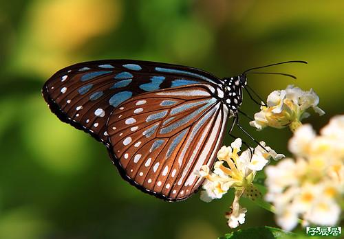 琉球青斑蝶 IMG_2008small