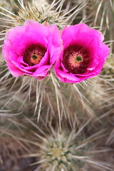 Cactus face (kevin dooley) Tags: pink two arizona cactus flower color phoenix face rose gardens canon botanical eos eyes colorful open desert bright pair magenta fuchsia vivid sigma az bloom f56 phx blooming brightpink 105mm cactusflower valleyofthesun 40d fuchsiapink cactusface
