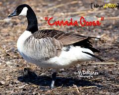 Canada Goose (M.DR.D600) Tags: bird finland helsinki wildlife canadagoose uccello seurasaari kanadanhanhi ocadelcanada nikond7000