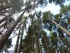 Sentier du Tavignanu RG en amont de Sega : superbes laricii