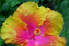 Giant Hibiscus Conservatory of Flowers 060407-155341 cr42 (Wambeke & Wambeke Photography, Art, & Textiles) Tags: gianthibiscus yellowandpinkhibiscus flower cof yellowandpinkflower hibiscus wow
