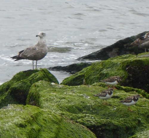 Turnstones and gull