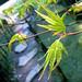 Parc de Maulévrier - Jeunes feuilles d'érable