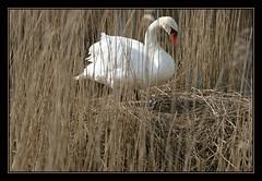 swan (Frank Will) Tags: white bird birds spring swan nest breeding clutch schwan weiss vogel brut fruehling aplusphoto frankwill gelege brueten