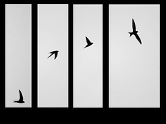 album_pic.php (Emiliano Mailand Chionaky) Tags: bird flight volo swallow dynamism uccello dinamismo rondine