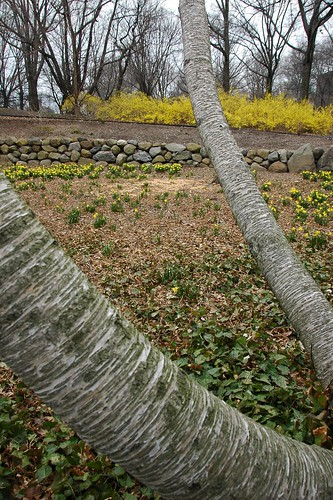 Birch, Daffodils and Forsythia, Osborne Garden, BBG