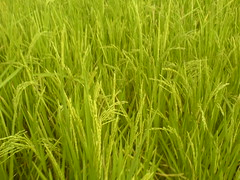 palay stalks (* jdt... (shabba!)) Tags: trip plant green field philippines thoughts ricefield palay bukid jdt filipinoness