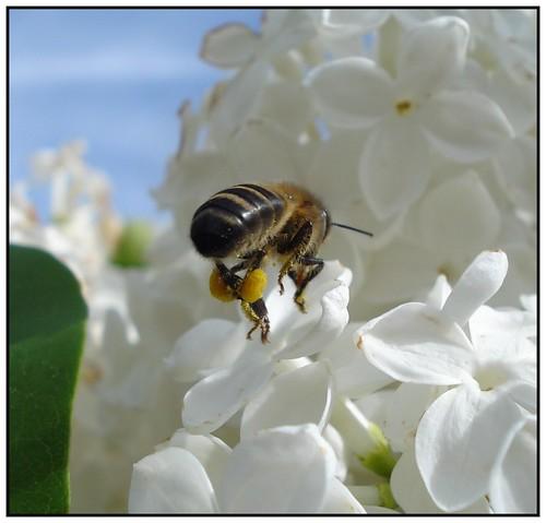 Cargando el polen