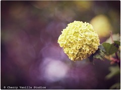I Shall Call This the Bokeh Flower (cherryvanillastudios) Tags: flower nature canon botanical 50mm blossom bokeh f18 digitalrebel hbw bokehwednesday