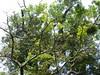 96.11.16竹崎鄉光華村茄苳風景區內的茄苳老樹DSCN3217