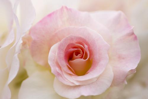 Rose : Matilda