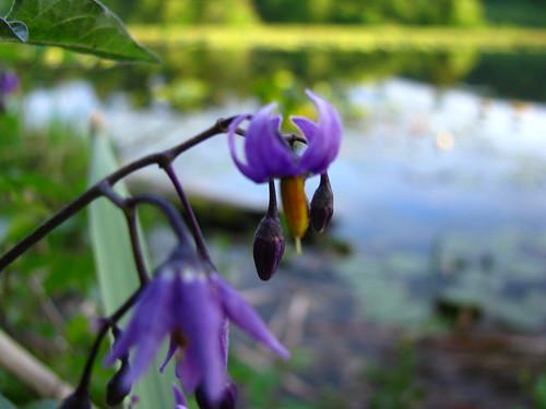 Lacamas Lake Purple Flower