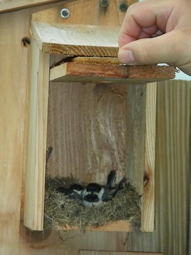 Baby chickadees #1