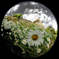 Daisies (maapu) Tags: camera uk flowers england white green nature daisies lens landscape aperture village cottage wideangle powershot fisheye um shutter pointandshoot effect mells citric opteka twtme maapu mauroof mauroofkhaleel canong9