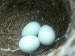 綠繡眼下的三個蛋~很小很小喔!