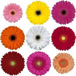 Mini_Gerbera_Daisy_Mixed_Colors_Flower_250 by you.