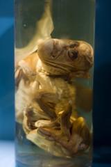 Mutated Animal (Sebastian Niedlich (Grabthar)) Tags: berlin animal museum d50 germany deutschland nikon nikond50 mutant nikkor 50mmf18d 2008 museumofnaturalhistory mutation mutated museumfrnaturkunde naturkundemuseum grabthar jun08 sebastianniedlich