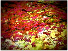 Autumn leaves... (DinyarG) Tags: red fall nature leaves japan colours picnik kofu shosenkyo autoum dinyarghyara
