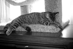Kitty Bella on her new condo (photogrl58) Tags: cute cat kitten feline chat kitty gato scratchingpost